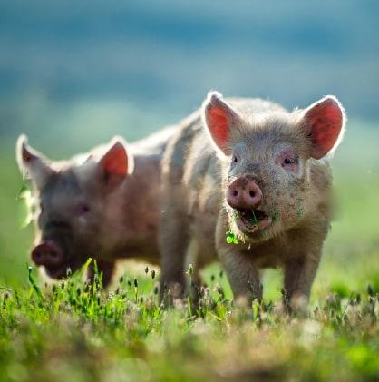 Schweine Praxis Leistungen