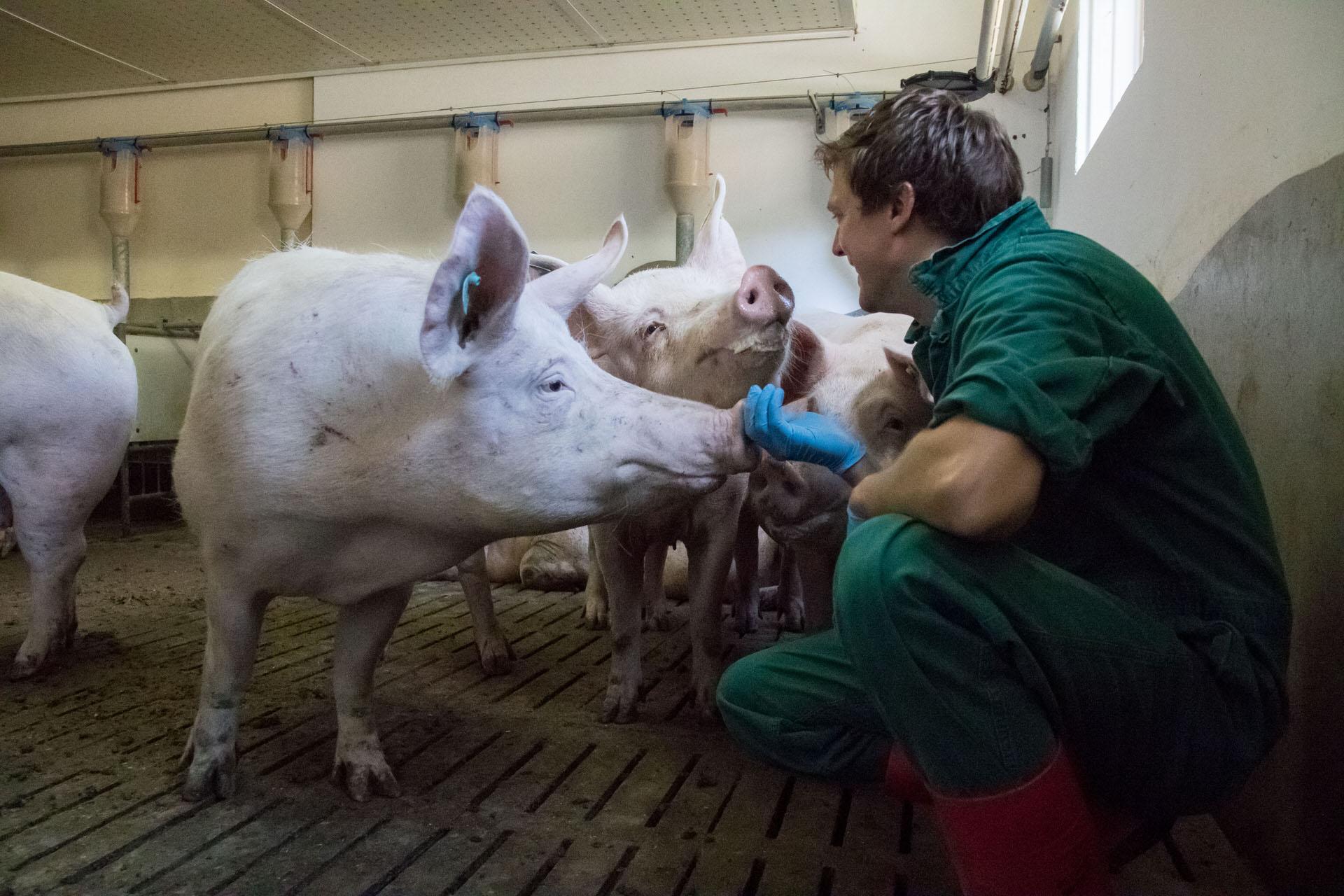 Praxis Schweine